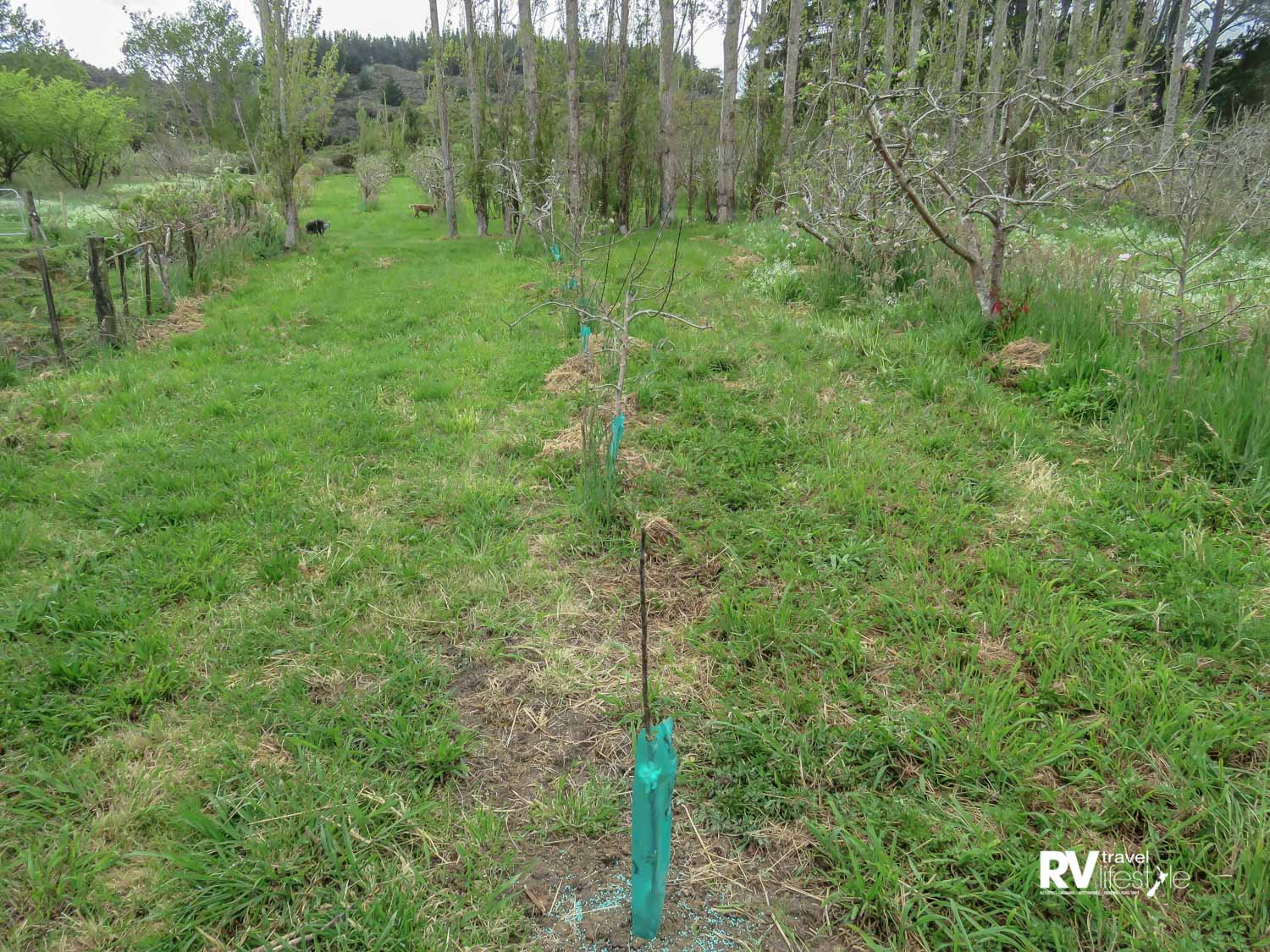 Green sleeves on a row of replacement apple trees – wild pigs damaged the originals