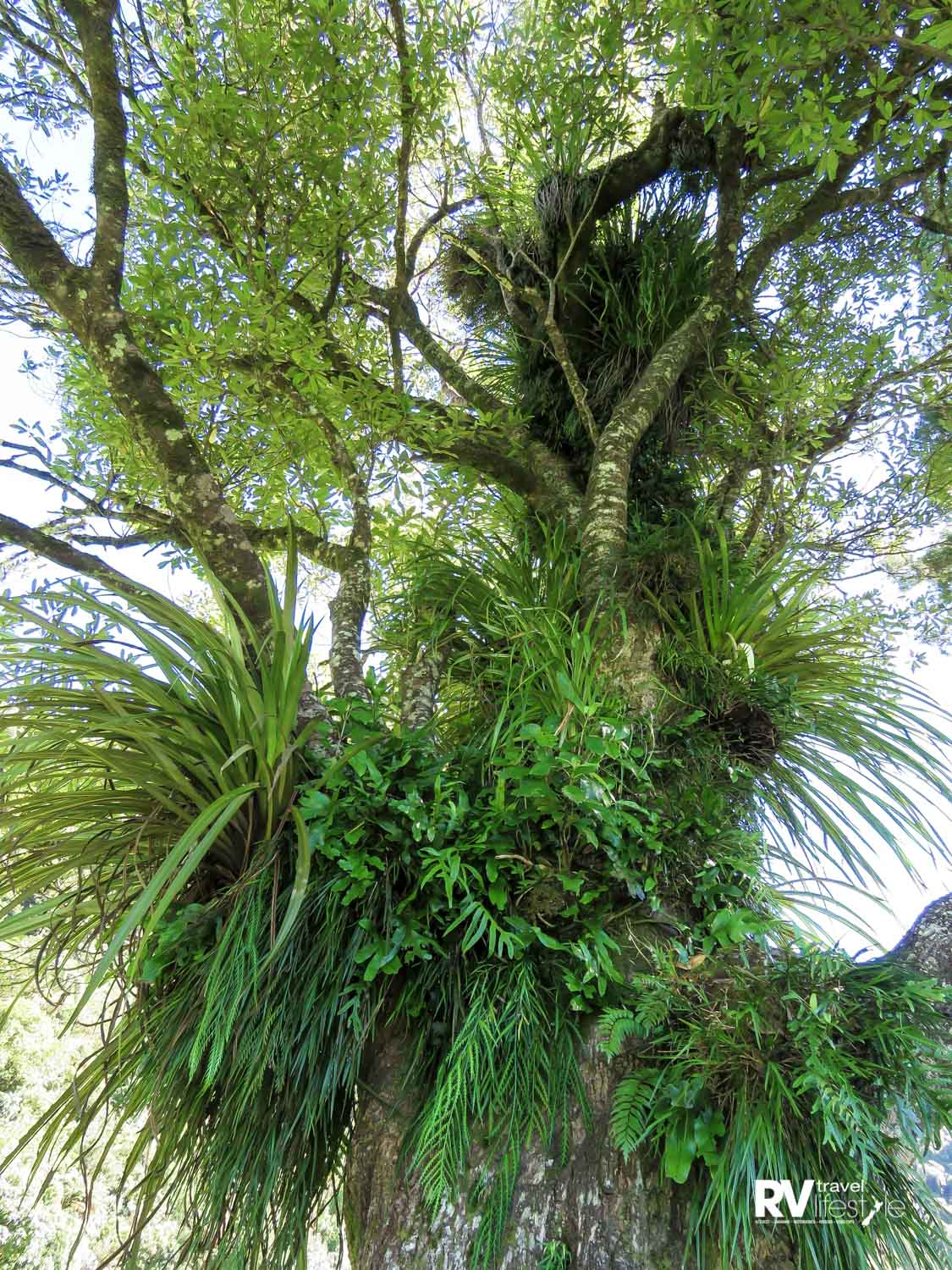 At least four different epiphytes have made a home for themselves on this old tree