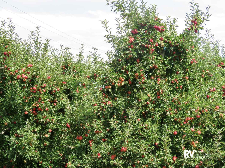 An abundance of apple trees