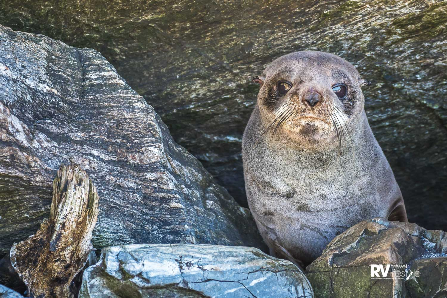 A New Zealand fur seal pup sneaking a peek from his rocky hideaway