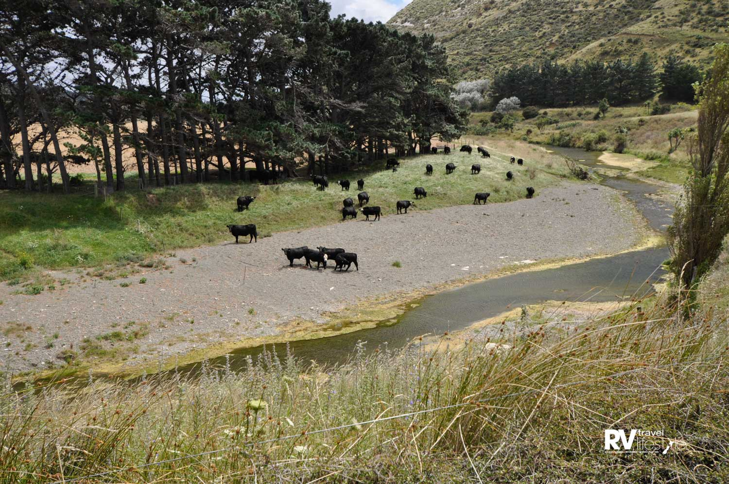 Clean green NZ - yeah right - these cows were fenced into the stream area on the road to Ward Beach