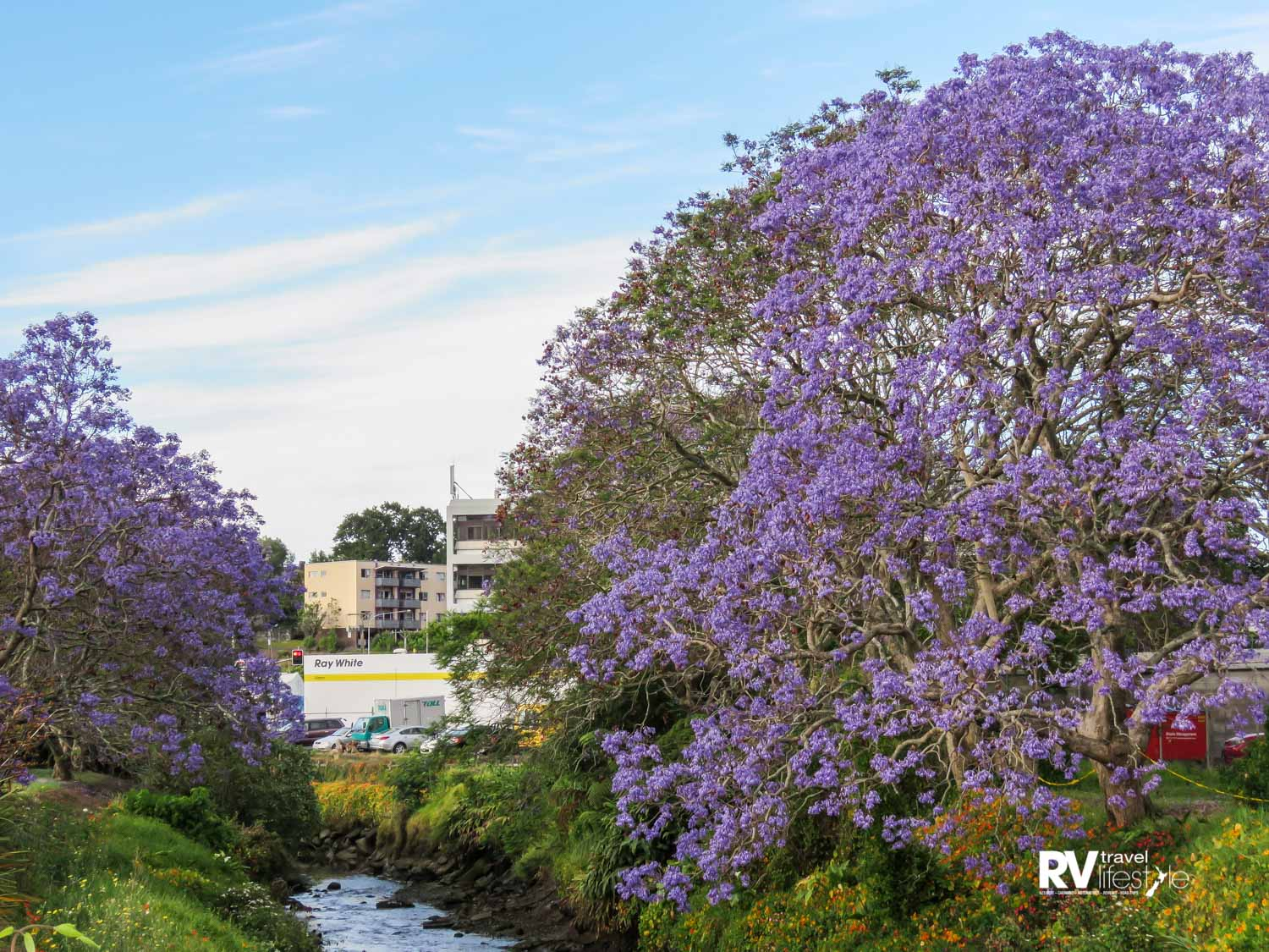 Jacaranda trees near the Waiarohia Stream in Whangarei – they make a very attractive sight throughout the city
