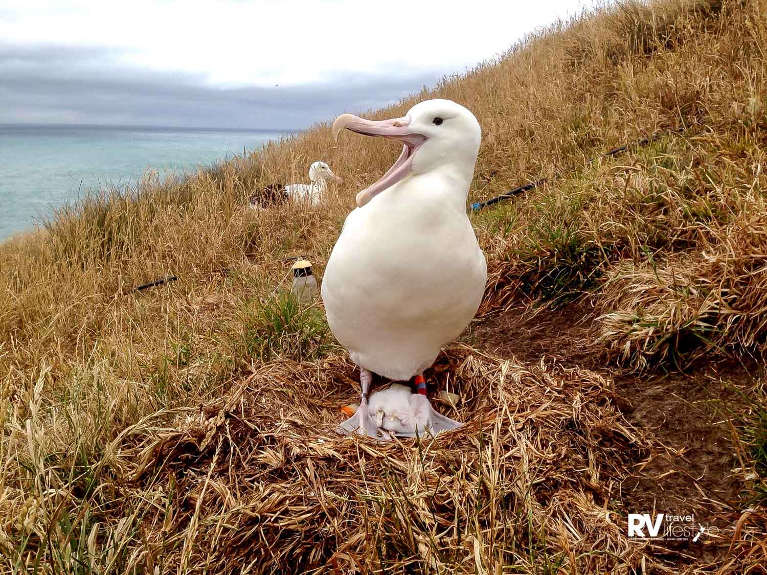 The Royal Albatross Centre also offers tours of Pilots Beach, home to a colony of Little Blue Penguins. During the tour, visitors have the ability to get up close with the world's smallest penguins via a state-of-the-art viewing platform.