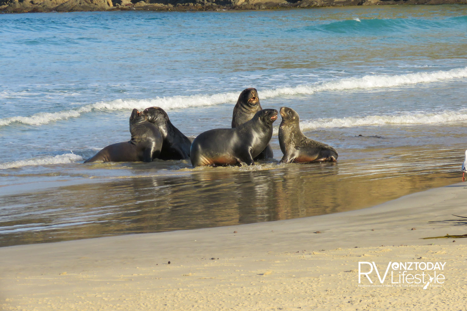 A group of New Zealand sea lions or 'rapoka', were having some sort of territorial dispute on the beach at Cannibal Bay