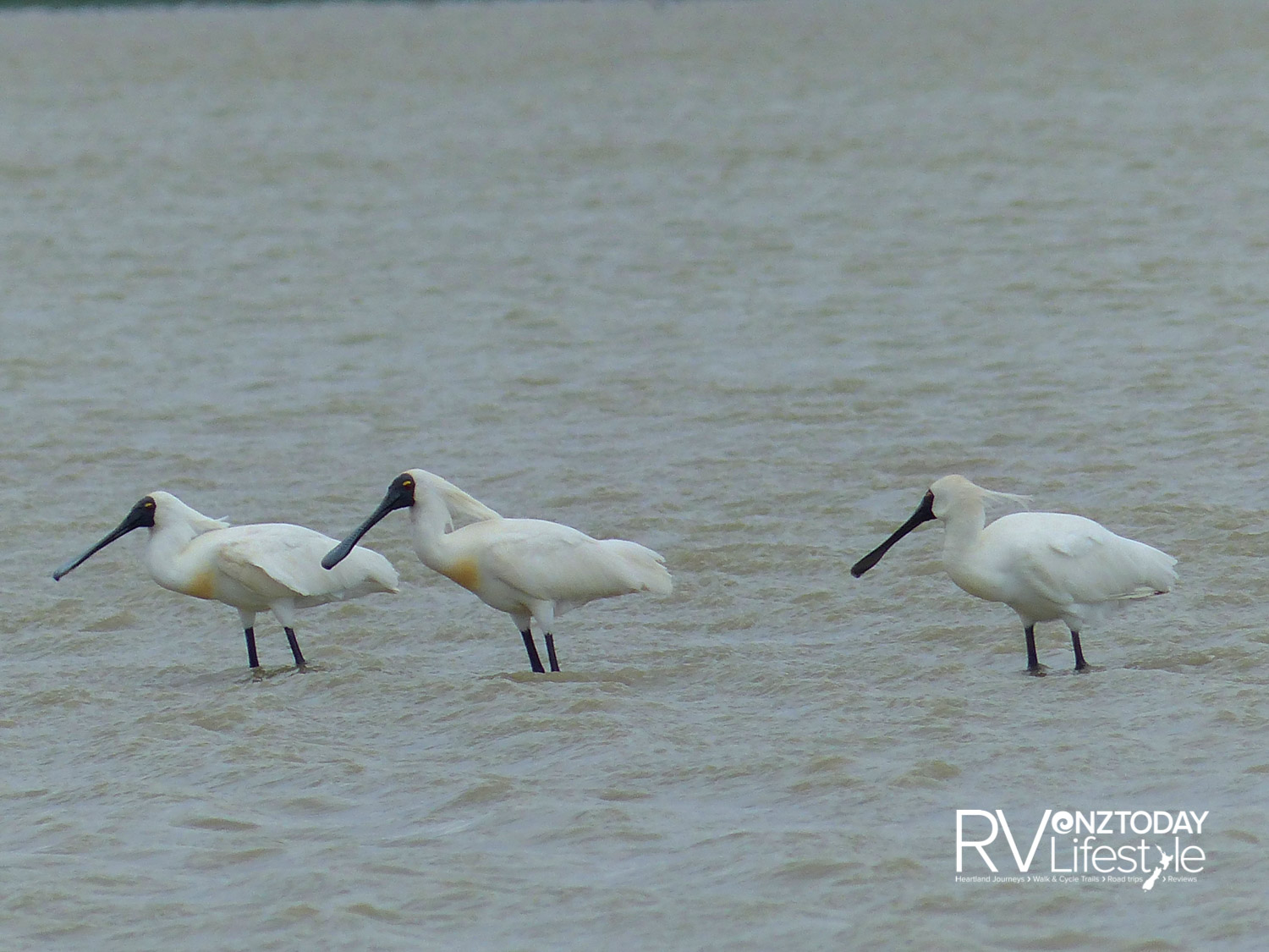 Royal spoonbills wading in the shallows