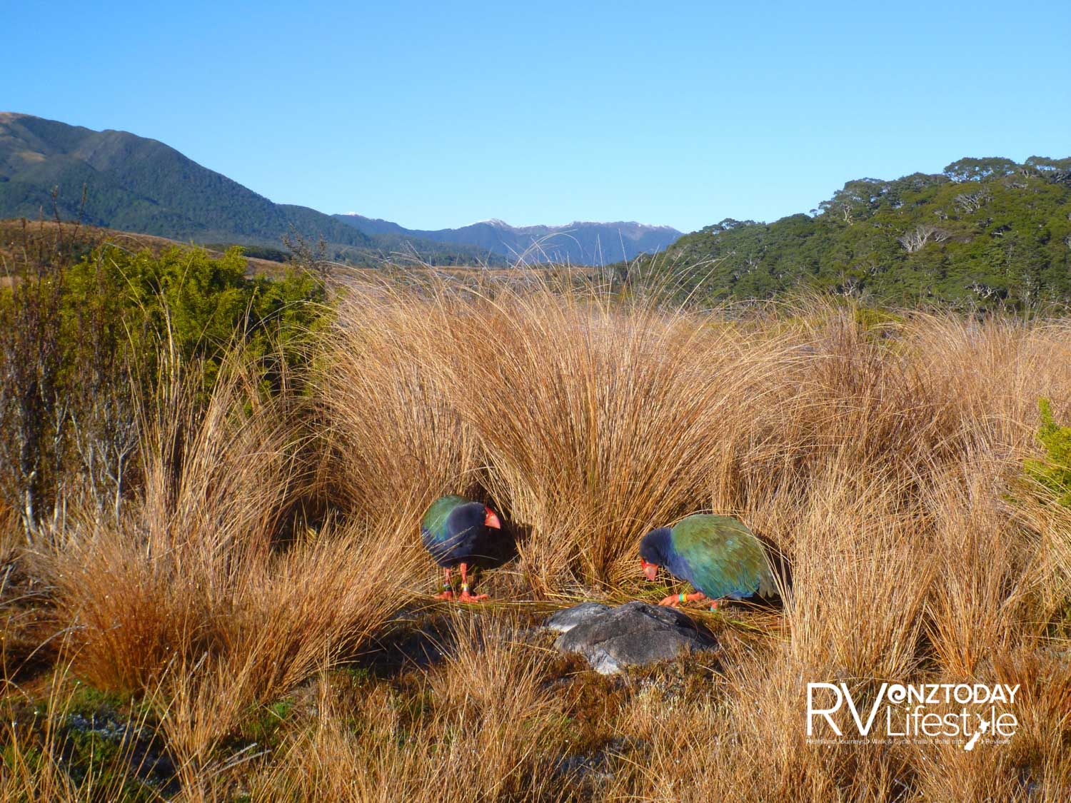 Takahē in the wild, a rare sight to behold