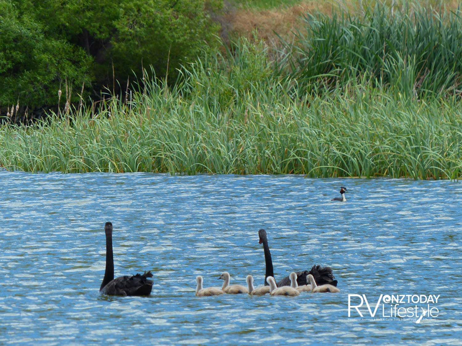 Grebes and swans in Lake Forsyth
