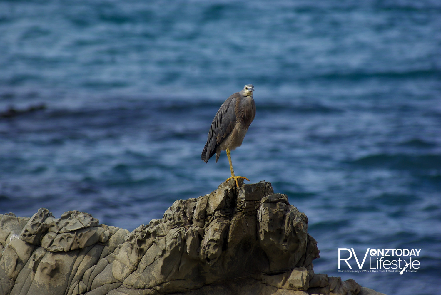 A sperm whale dives and waves goodbye. Taken on a previous trip. Wildlife on the Kaikoura Coast — a blue heron and a seal