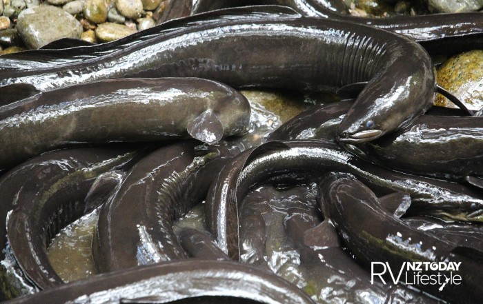 Unlike regular 'fish', eels are quite happy out of water, providing they are kept moist